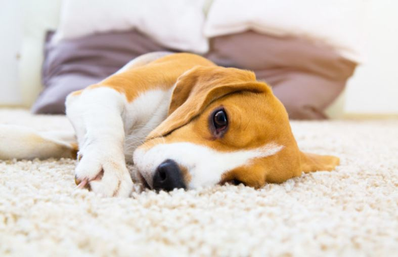Great carpet options for pets, Jack Russell dog lying on a cosy carpet. Are you searching for carpets in hildenborough?
